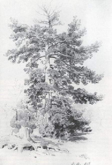 Сосна. 1889